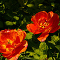 Orange Tulips In My Garden by Helmut Rottler