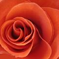 Orange Twist Rose 5 by Tara Shalton