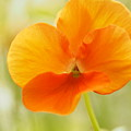 Orange Viola On A Brilliant Spring Day by Dorothy Lee