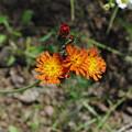 Orange Wild Flowers by Alice Markham