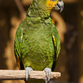 Orange-winged Amazon Parrot by Adam Romanowicz