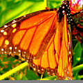 Orange Winged Butterfly by Debra     Vatalaro