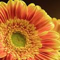 Orange Yellow Gerbera by Darlene Munro
