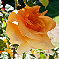 Orange-yellow Rose At Pilgrim Place In Claremont-california by Ruth Hager