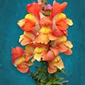 Orange Yellow Snapdragon Flowers by Debi Dalio