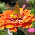 Orange Zennia by Brittany Horton