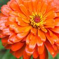 Orange Zinnia After A Rain by Jim Hughes