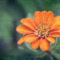 Orange Zinnia by Christopher Meade