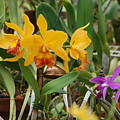 Orangepurple Orchids by Rob Hans