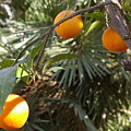 Oranges by Veron Miller