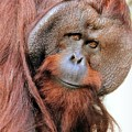 Orangutan Male Closeup by Diann Fisher