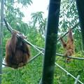 Orangutan Mother Baby Sd Zoo 2015 1 by Phyllis Spoor