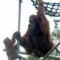 Orangutan Mother Baby Sd Zoo 2015 2 by Phyllis Spoor