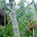 Orangutan Mother Baby Sd Zoo 2015 3 by Phyllis Spoor