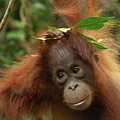 Orangutan Pongo Pygmaeus Baby, Camp by Thomas Marent