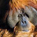 Orangutan by Randall Ingalls