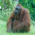 Orangutan Sd Zoo 2015 2 by Phyllis Spoor