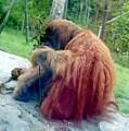Orangutan Sd Zoo 2015 by Phyllis Spoor