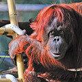 Orangutan Smile by Tom Dowd