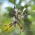 Orb Weaver Spider And Prey In A Web by Robert Hamm