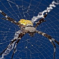 Orb-weaver Spider by Joerg Lingnau