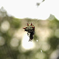 Orb Weaver Spider2 by Evelyn Patrick
