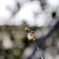 Orb Weaver Spider3 by Evelyn Patrick