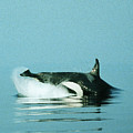 Orca West Side Of San Juan Island, Washington  1986 by California Views Archives Mr Pat Hathaway Archives