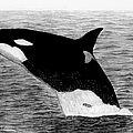 Orca by George Sonner