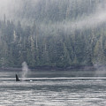 Orca Male Into The Mist by Randy Hall