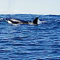 Orca by Marilyn Wilson