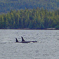 Orca Whales by Mike and Sharon Mathews