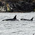 Orcas In The Salish Sea by Matt Ferguson - ferglandfoto
