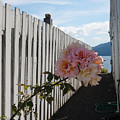 Orcas Island Rose by Tim Nyberg