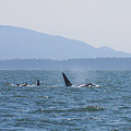Orcas by Stacy Egnor