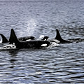 Orcas, The Killer Whales by Kay Brewer