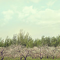 Orchard Of Apple Blossoming Tees by Sandra Cunningham