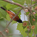 Orchard Oriole by Alan Lenk