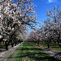 Orchard Trees Blossoming by Kathy Yates