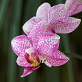 Orchid 20 by Pierre Leclerc Photography