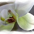 Orchid 3 by David Bearden