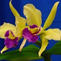 Orchid 7 by Peggy King