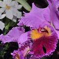 orchid 942 Purple Brassolaeliocattleya  by Terri Winkler