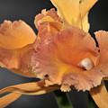 orchid 955 Orange Brassolaeliocattleya by Terri Winkler
