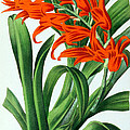 Orchid, Ada Aurantiaca, 1880 by Biodiversity Heritage Library