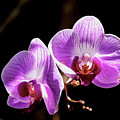 Orchid At Fairchild Gardens by Stan Roban
