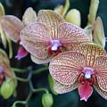 Orchid Beauty by Ann Keisling