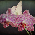 Orchid Beauty by Vicki Stansbury