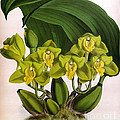 Orchid, Bifrenaria Aurantiaca, 1891 by Biodiversity Heritage Library