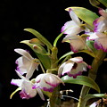 Orchid Blooms by Joanne Smoley